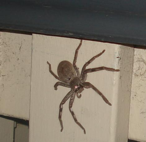 Huntsman on our gate
